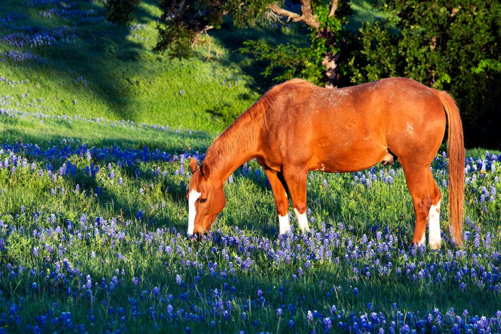 Chestnut horse in a field of bluebonnets on a sunny day