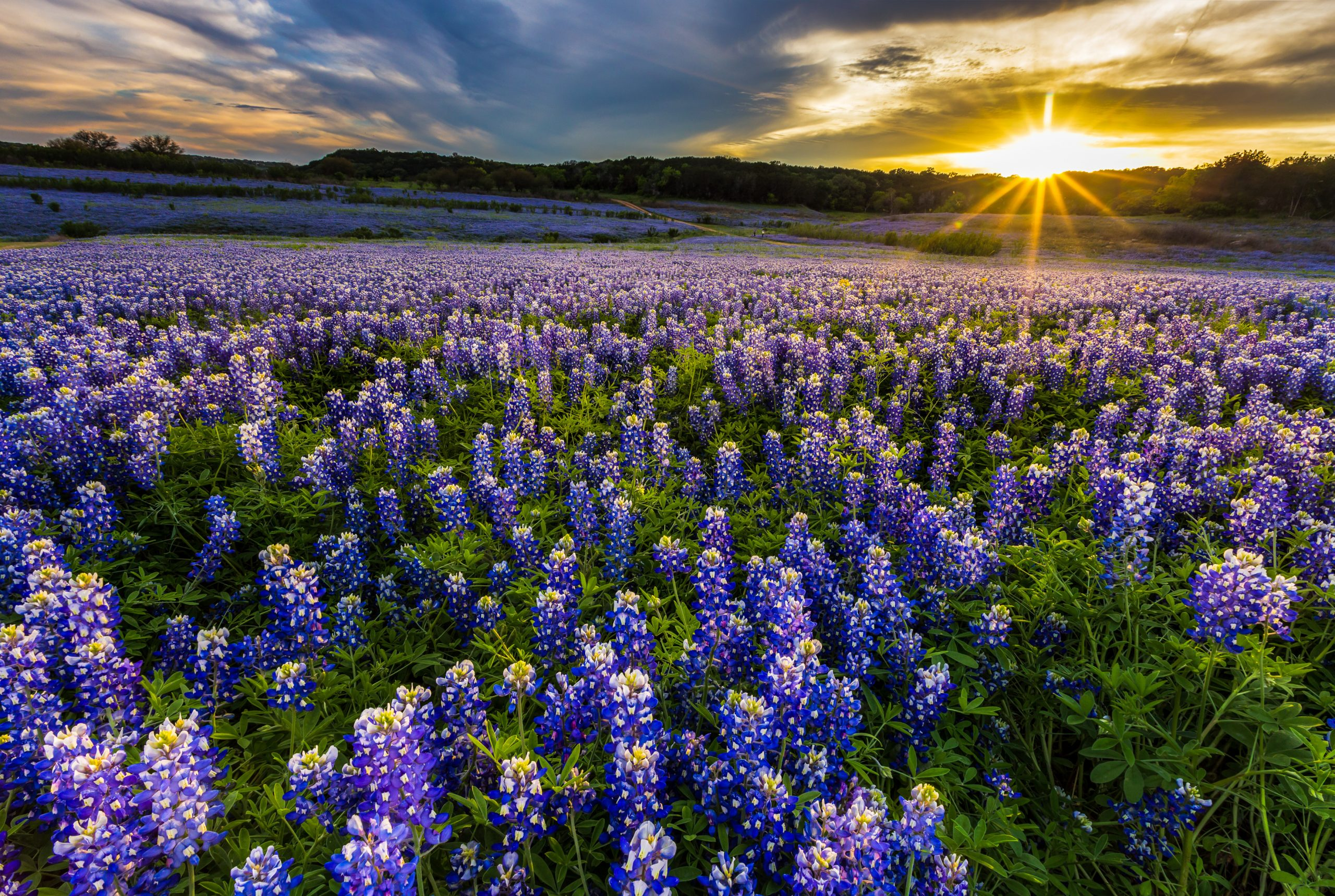Wide field of blooming Texas bluebonnets at sunset