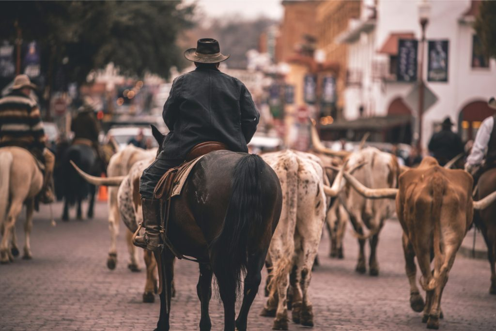 Cattle drive at the Fort Worth Stockyards with a cowboy visible on a horse from behind. Fort Worth is one of the best day trips from Dallas tx