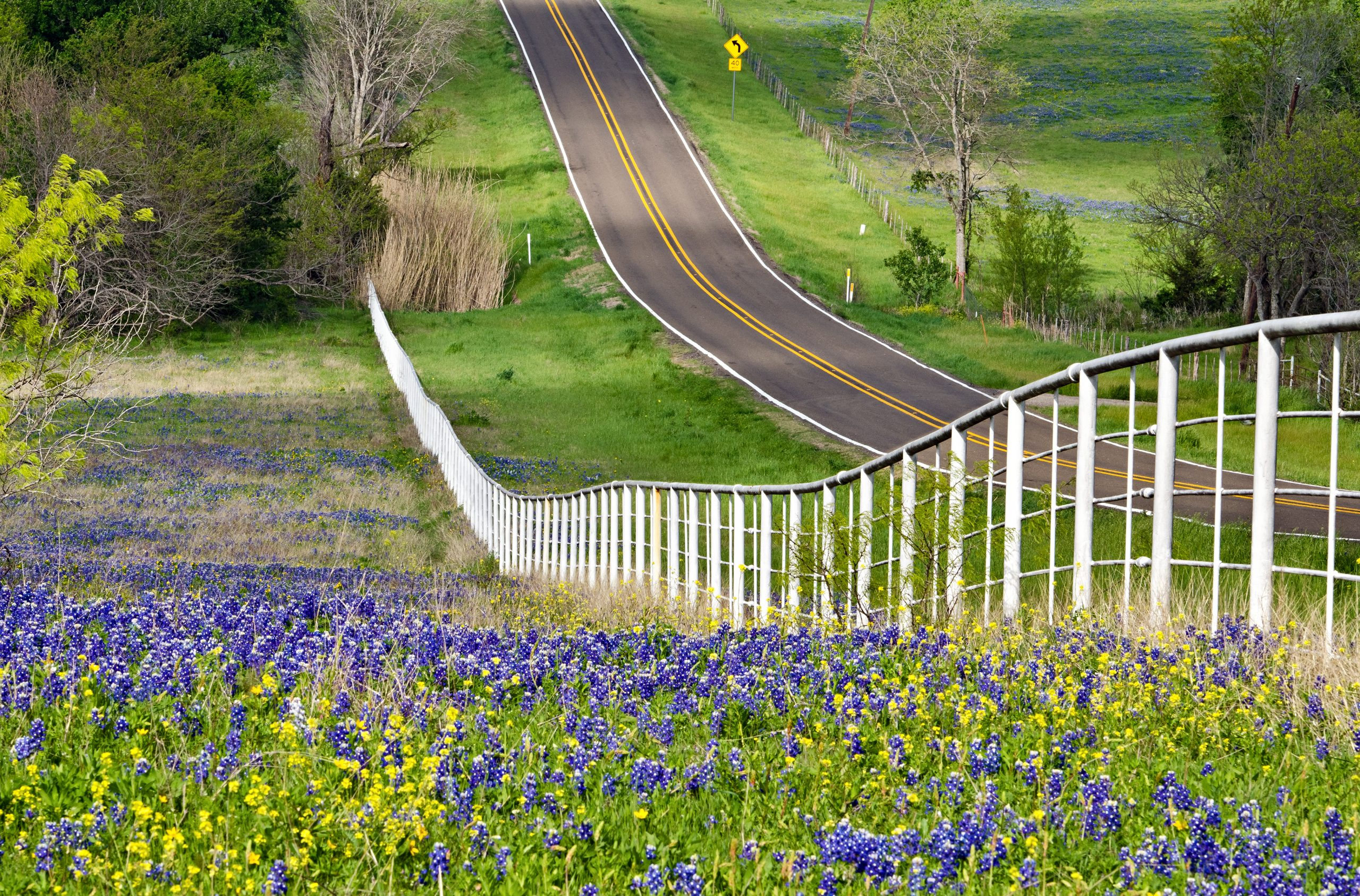 2 lane road in Texas lined with a white fence next to a field of bluebonnets--taking a Texas road trip in spring means seeking out views like this