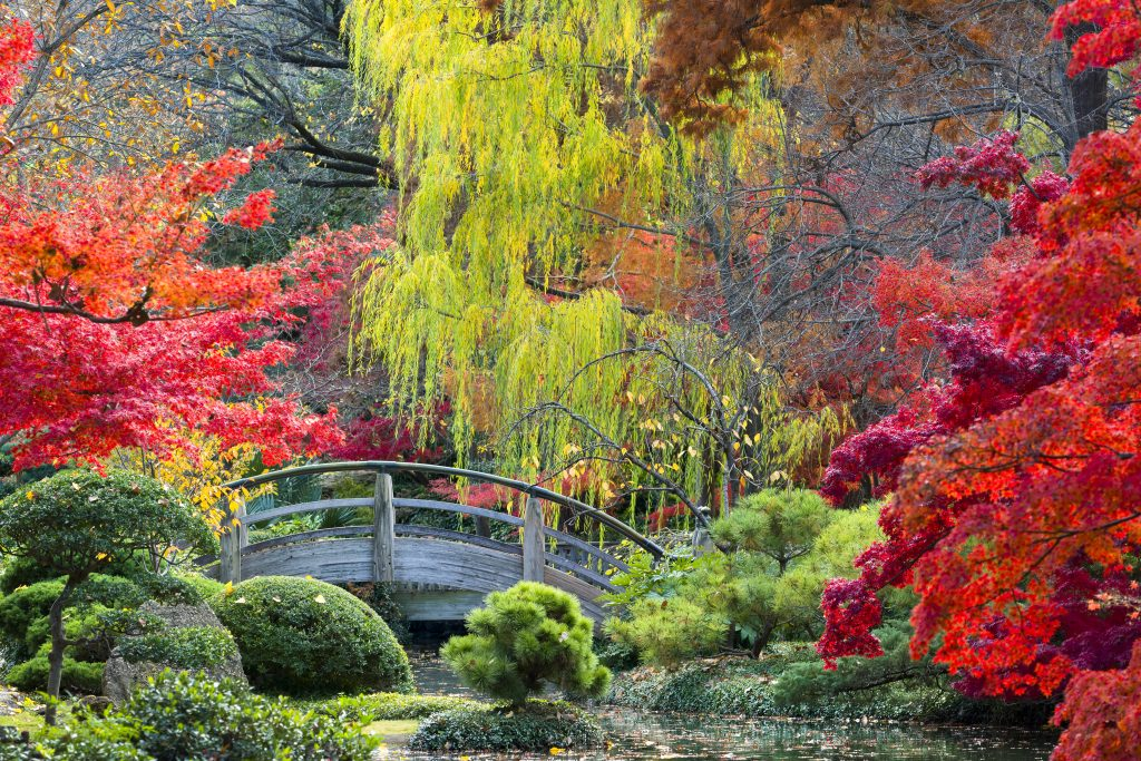 Japanese Garden in Fort Worth in autumn with colorful fall foliage and a small wooden bridge