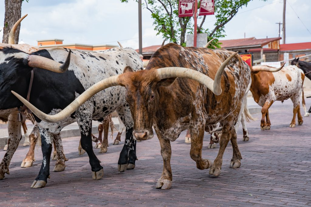 Longhorn cattle being driven through the ft worth stockyards, one of the best fort worth photo spots