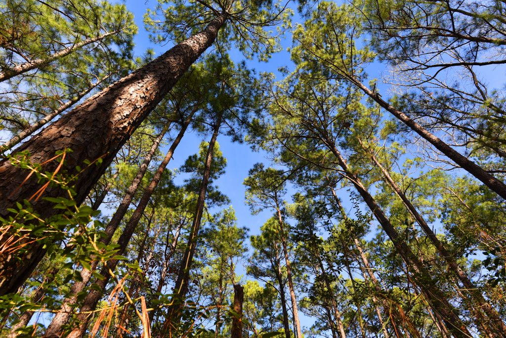 Piney woods in Sam Houston National Forest as seen looking up