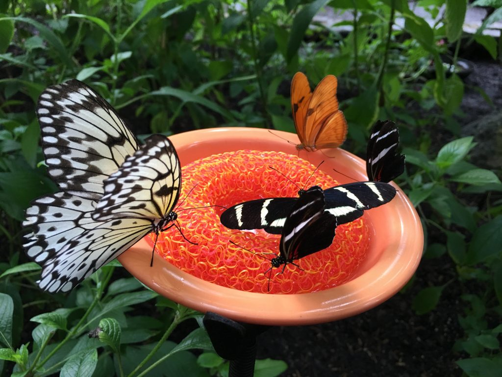 2 butterflies on an orange flower at the Houston Museum of Natural Science, one of the best places to visit when spending one day in Houston TX