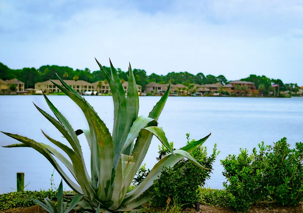 Agave bush in the foreground of the photo with Lake Conroe in the background on a cloudy day