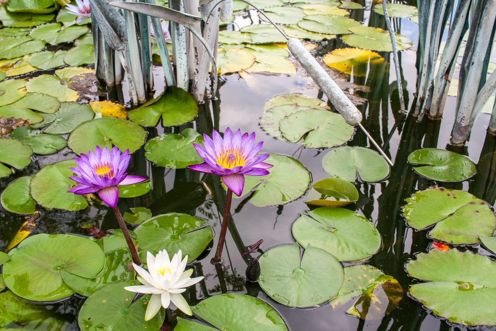 Purple and white flowers blooming among lily pads in a pond in a botanical garden