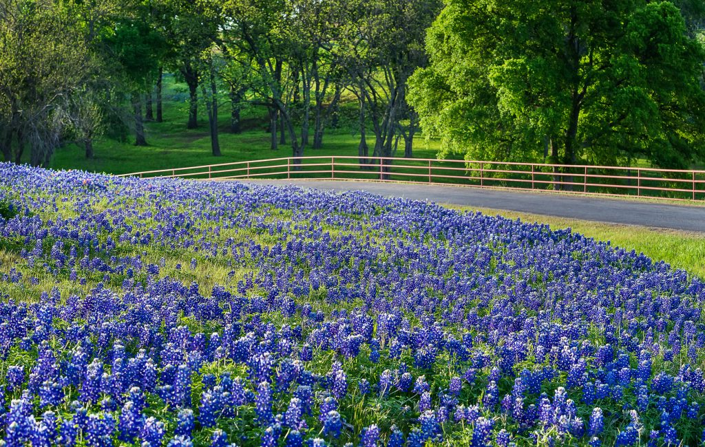 bluebonnets along a small road with a fence in the background
