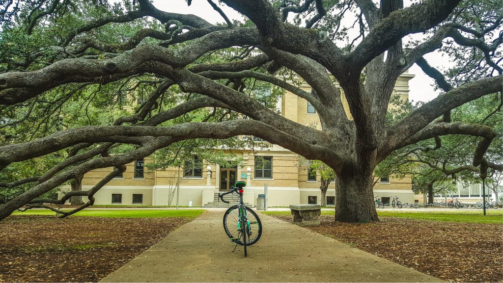 Century tree at Texas A&M with a bike parked under it
