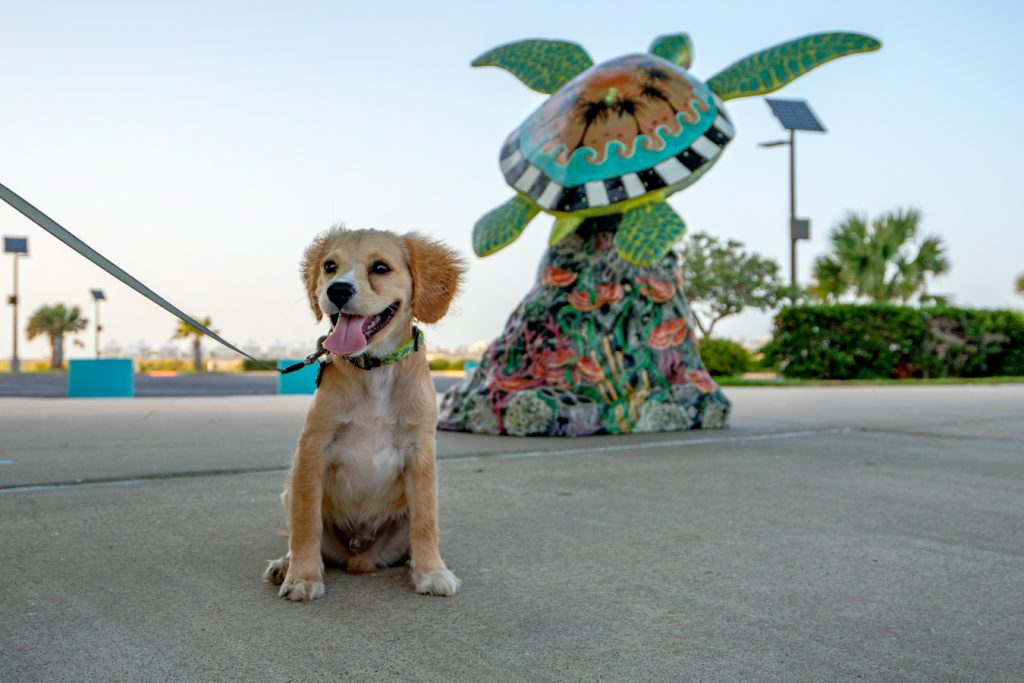 Small yellow puppy Ranger smiling and sitting in front of a colorful turtle statue, one of the best south padre photo spots