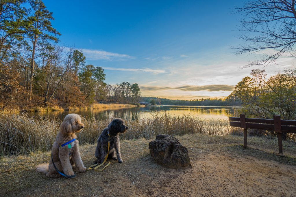 two labordoodles sitting in front of a lake at sunset in Tyler State Park, a texas state park within driving distance of houston tx