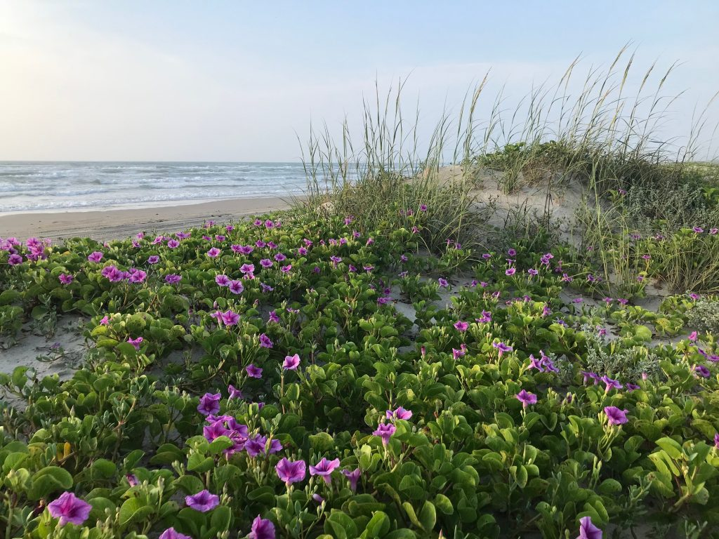 Purple flowers blooming on sand dunes on padre island, one of the prettiest islands in texas