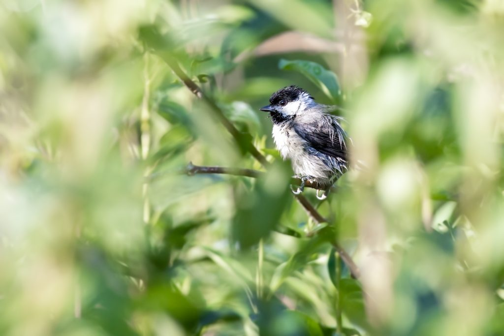 small black and white bird perched on a bush-sights like this are common when hiking in dallas