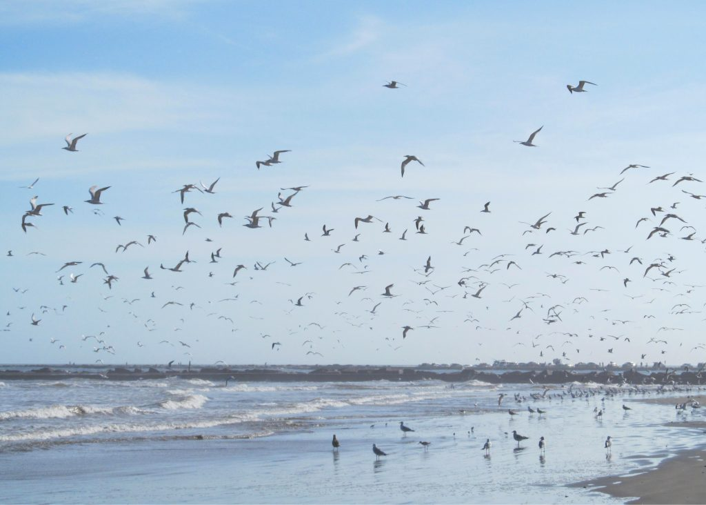 Flock of seagulls on the beach on San Jose Island, one of the prettiest islands off of texas