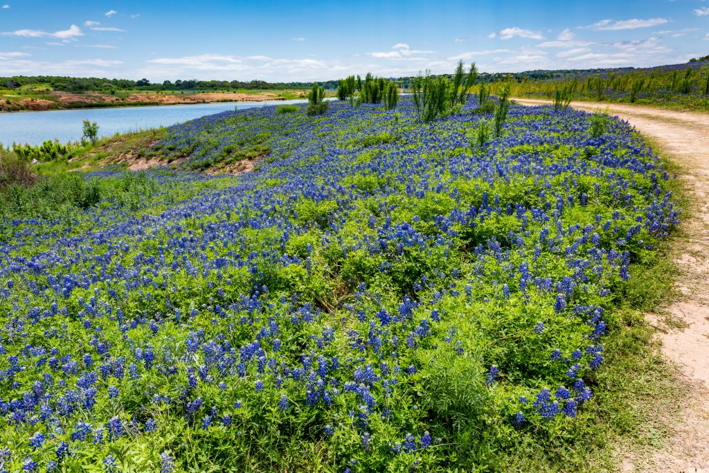 blooming bluebonnets at muleshoe bend with the Texas hiking trail visible on the right and water in the background