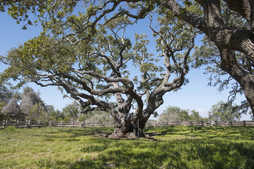 large live oak tree at goose island state park, one of the best texas state parks near houston tx