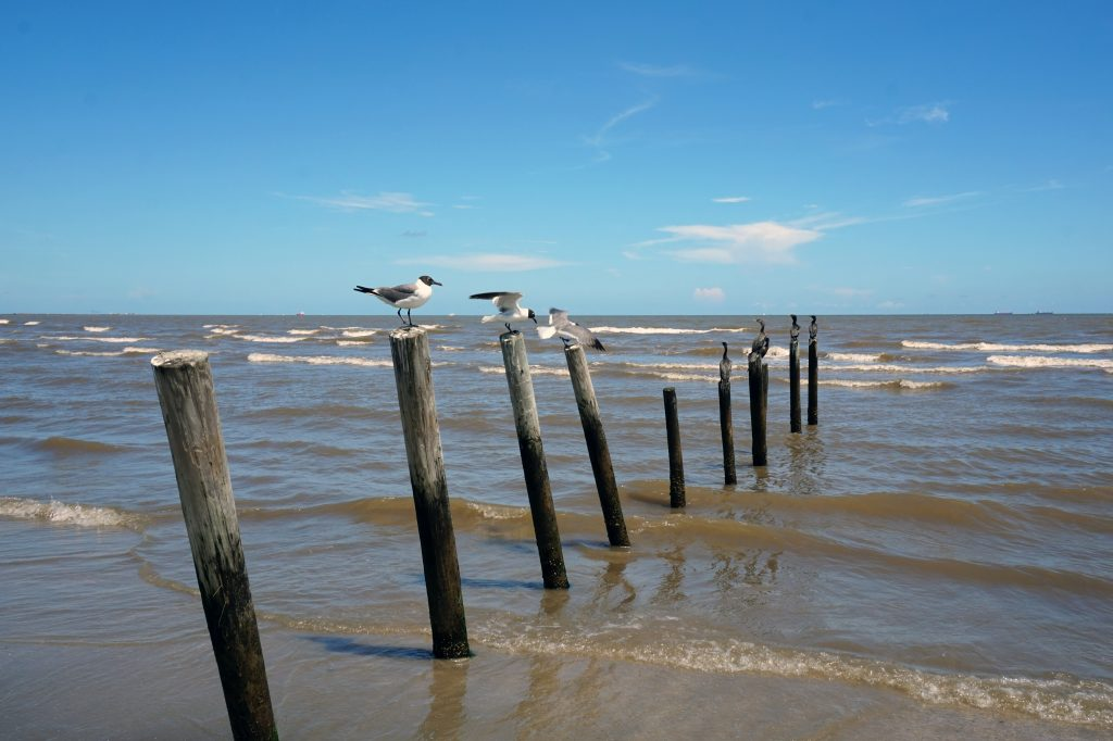 Seagulls sitting on wooden beams on the beach in Galveston texas