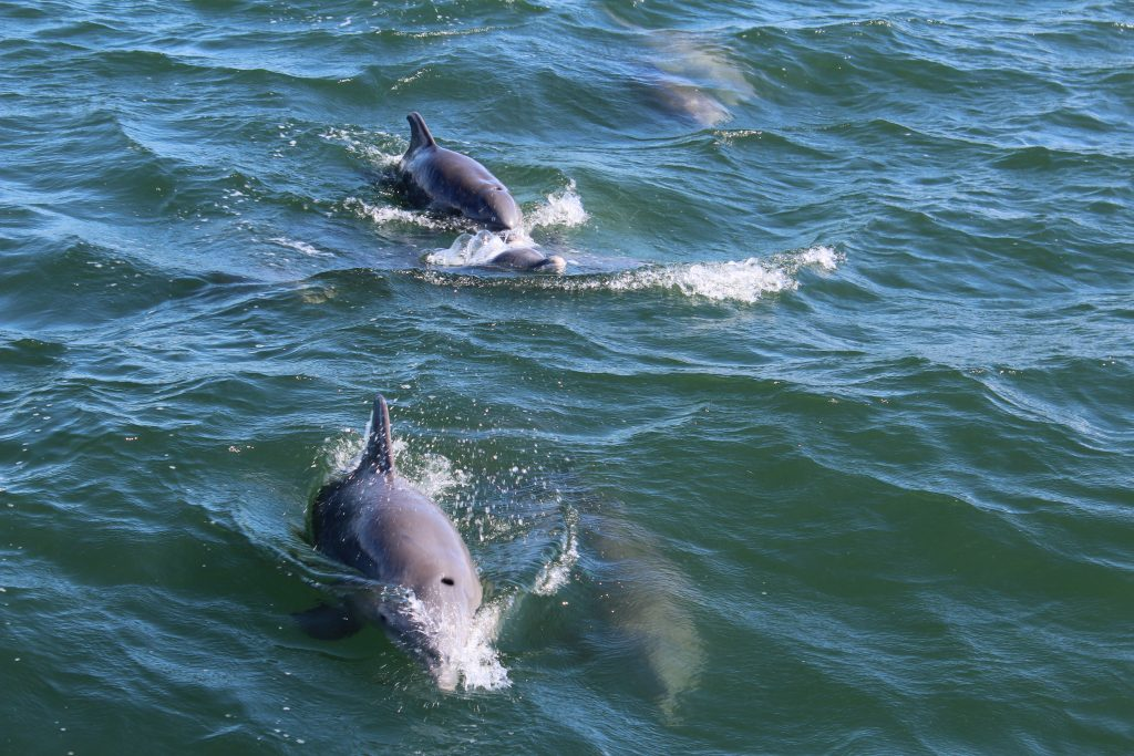 3 wild dolphins as seen from a boat in texas