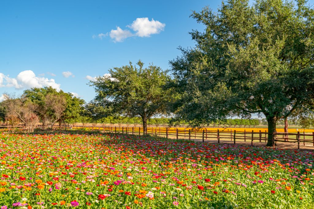 field of colorful wildflowers at wildseed farms in the texas hill country