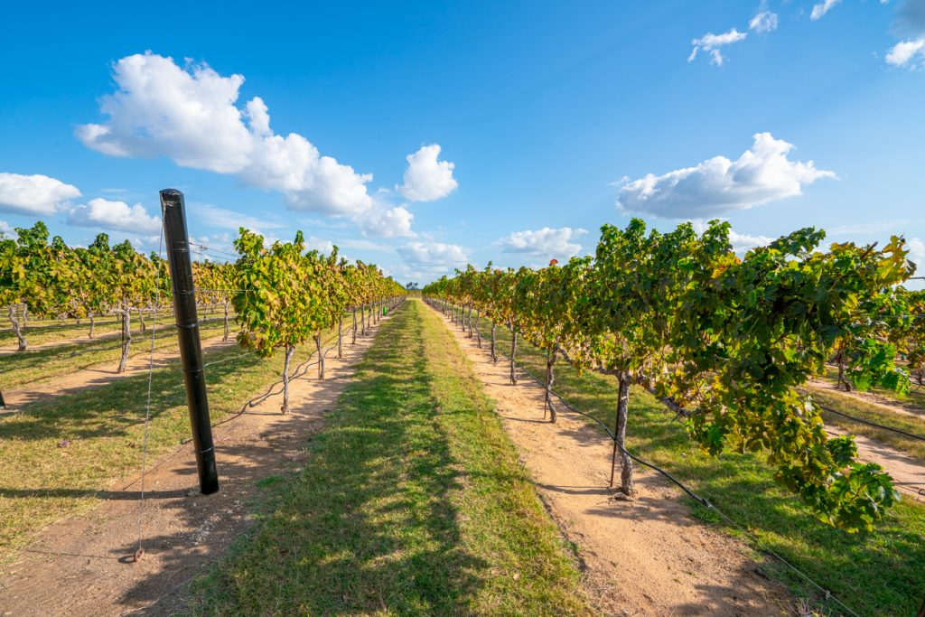 field of vines at grape creek vineyards, one of the best places to visit in fredericksburg tx