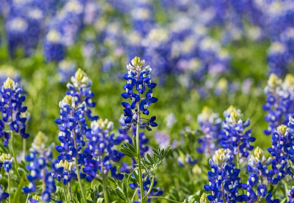 close up of a field of texas bluebonnets
