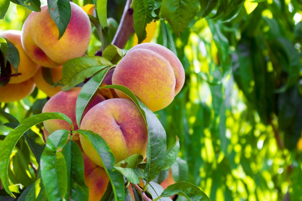 close up of several peaches growing on a tree--picking your own peaches is one of the best fredericksburg texas things to do