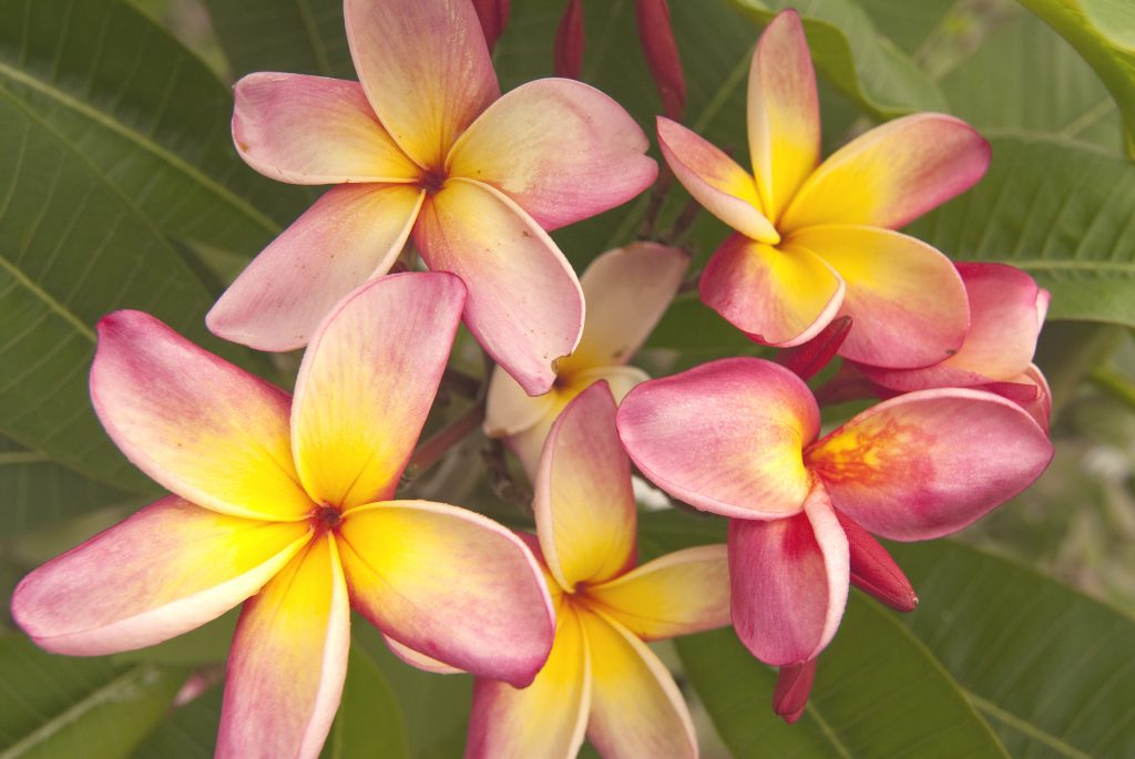 pink and yellow flowers at corpus christi botanical garden, one of the best attractions in corpus christi tx
