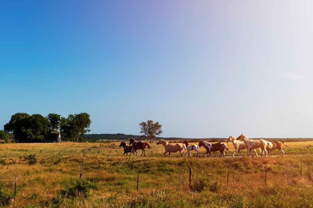 Horses on an open field at a ranch in Texas near sunset