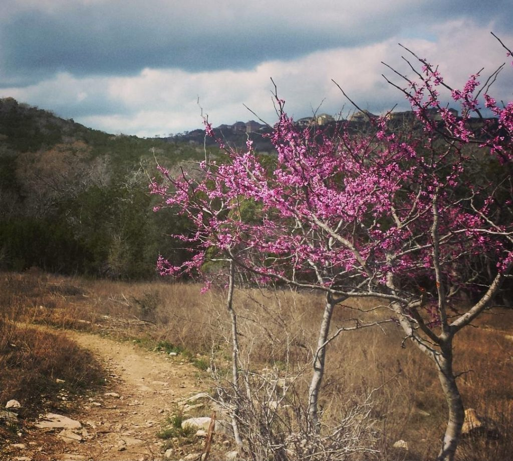 redbud tree blooming in friedrich wilderness park, one of the best places to hike in san antonio
