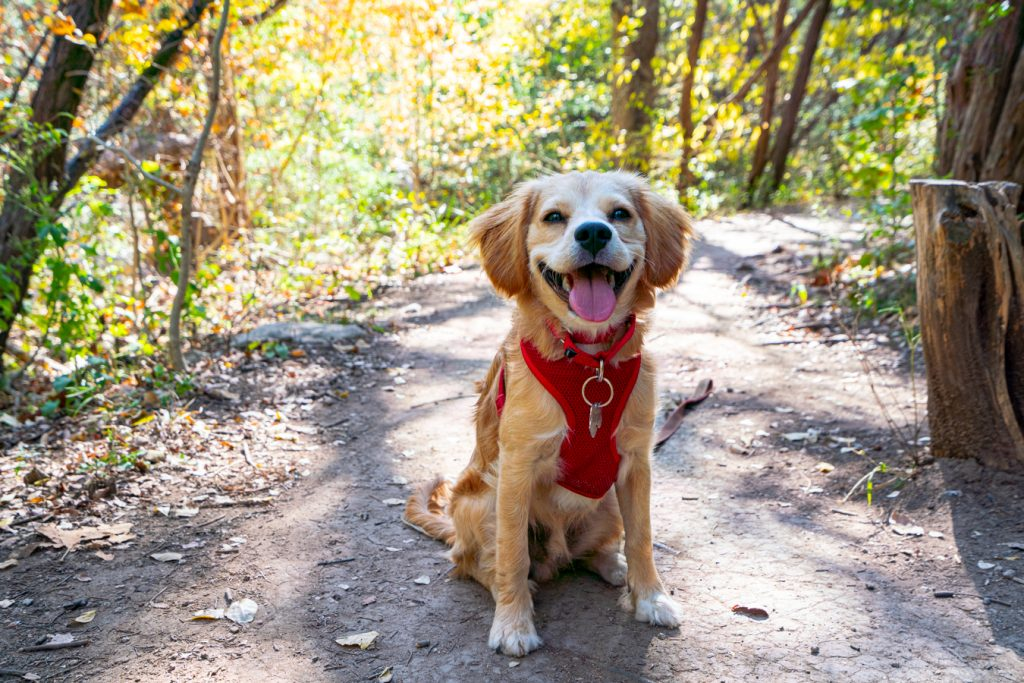 Ranger Storm, a yellow puppy wearing a red harness, sitting on the Turkey Creek Trail, one of the best hikes in austin with dogs