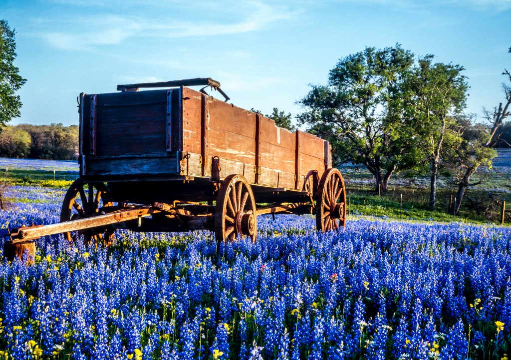 wooden cart with bluebonnets underneath it