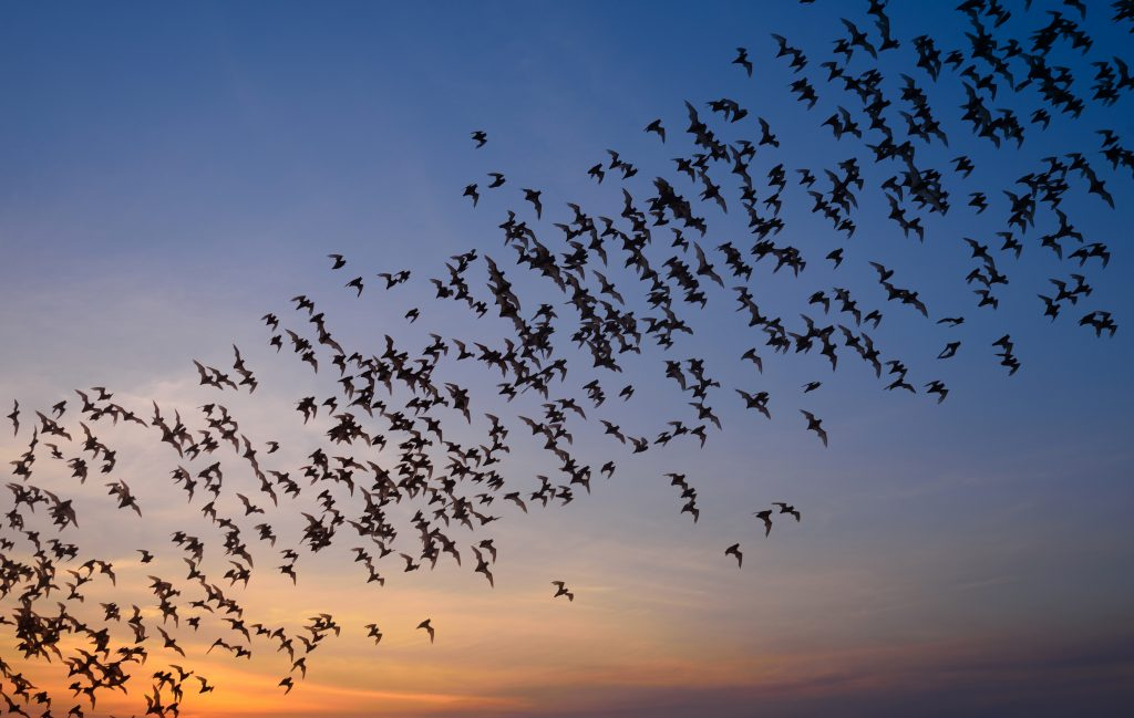colony of bats flying in front of the sunset, leading from the bottom left to top right of the photo