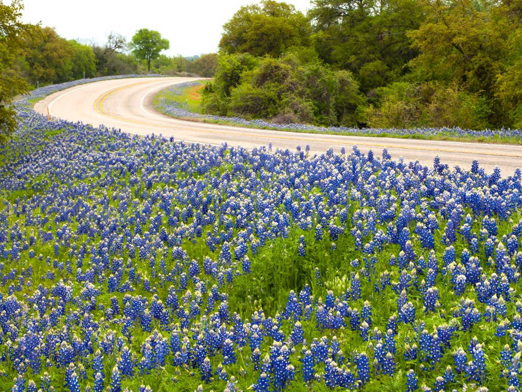 bluebonnets blooming on the side of a 2-lane willow city loop, one of the best places to see bluebonnets in texas