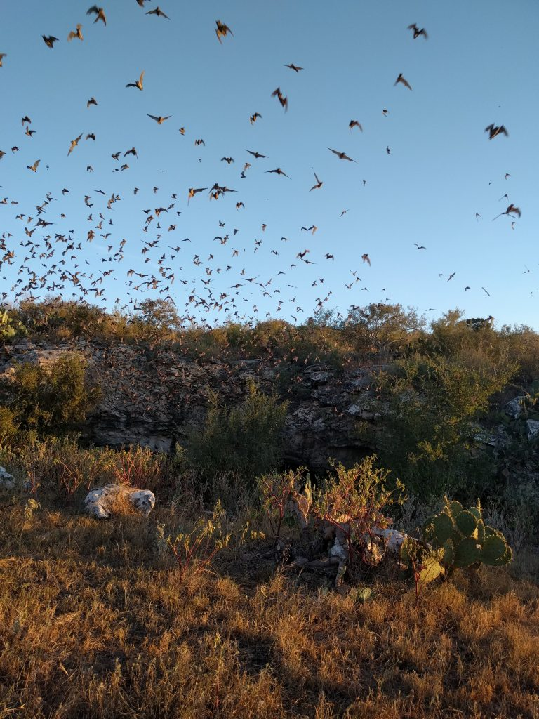 bats emerging from frio bat cave in concan texas