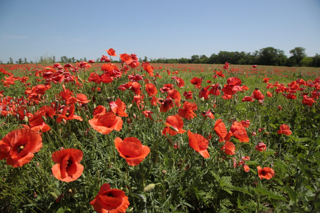 field of blooming red poppies on a sunny day
