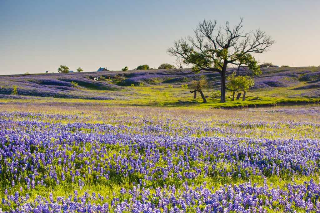 rolling field of bluebonnets with a tree in the upper right corner of the photo