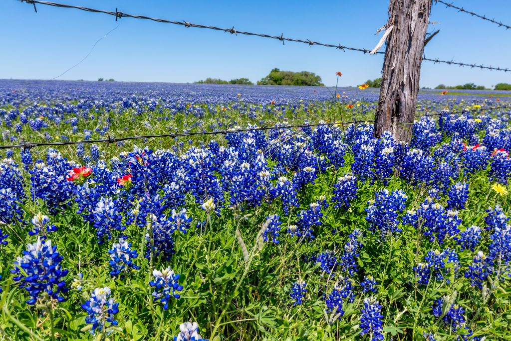 blooming bluebonnets in texas with a small country fence above them