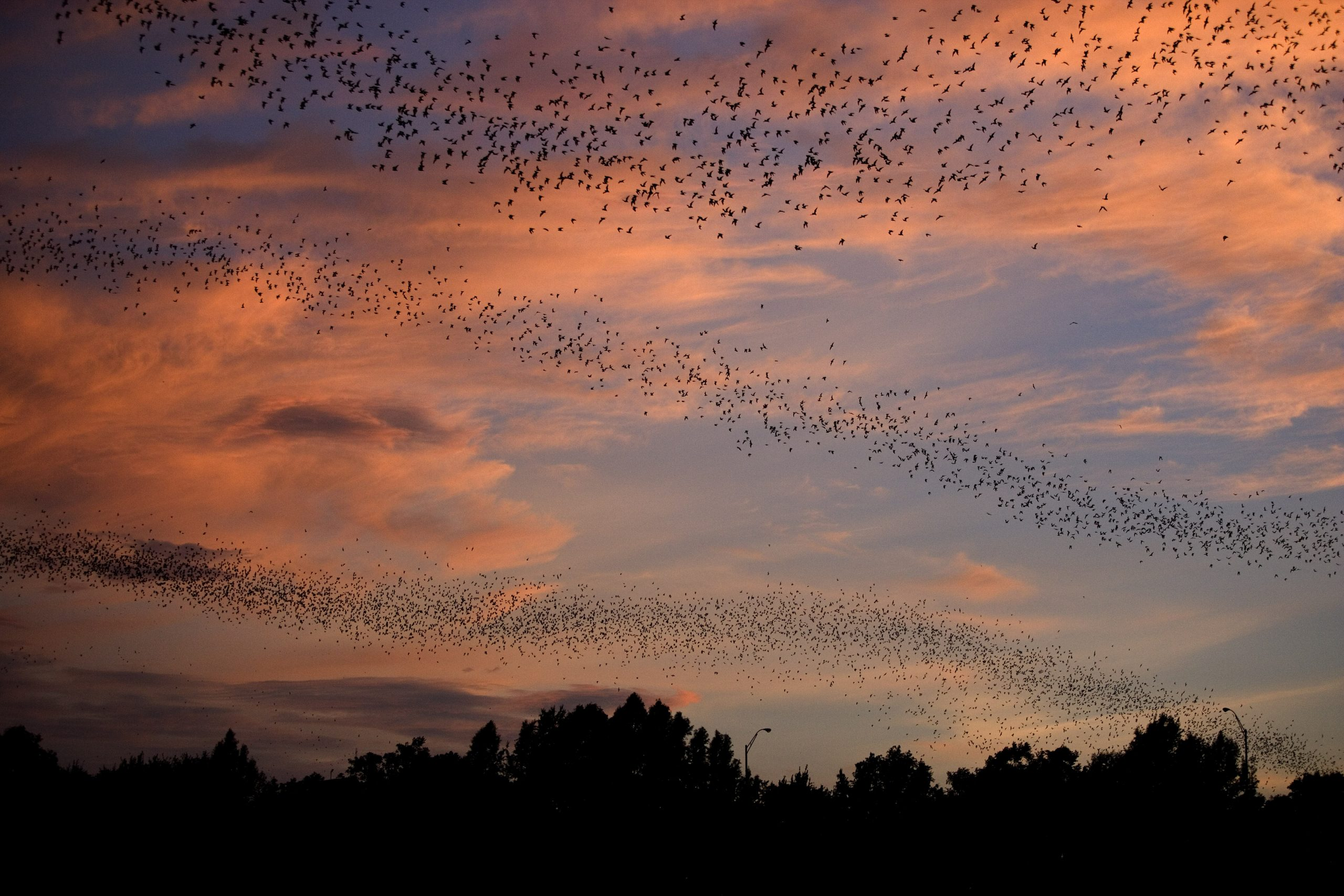 a colony of bats in texas flying in 3 waves in front of the sunset in austin tx
