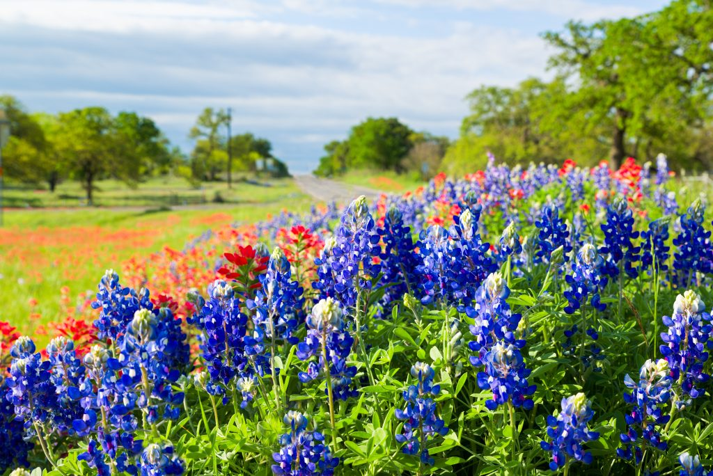 texas wildflowers along the side of a road
