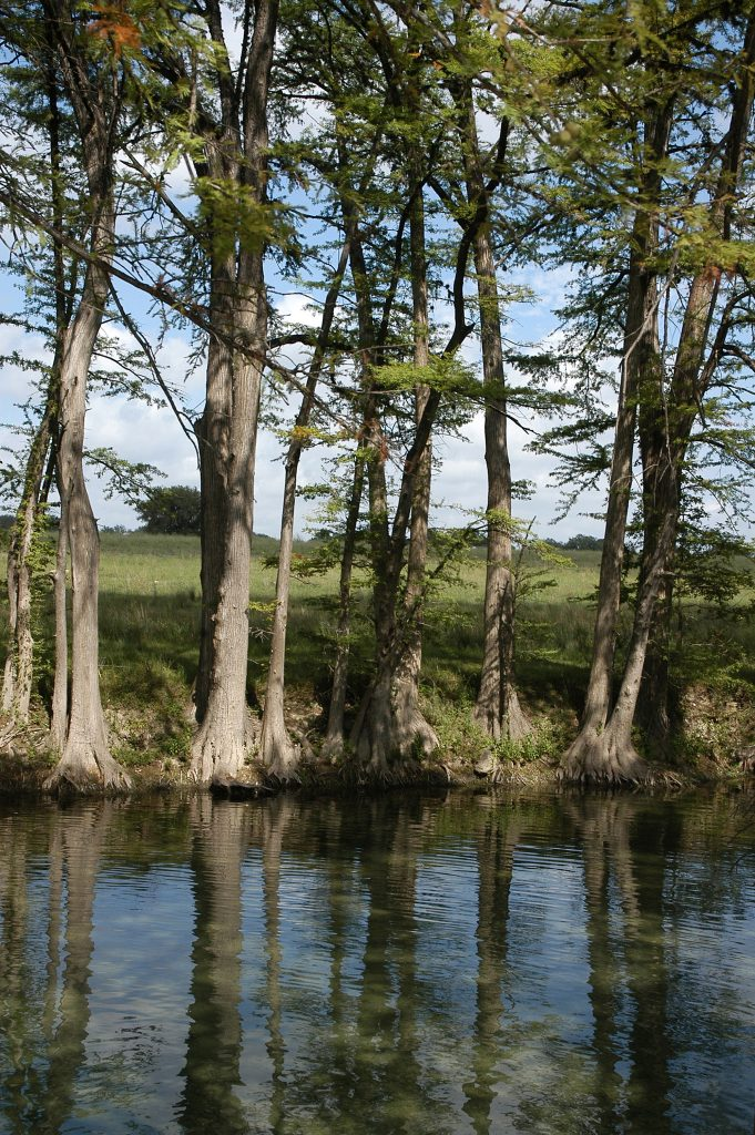 cypress trees lining in the medina river in san antonio