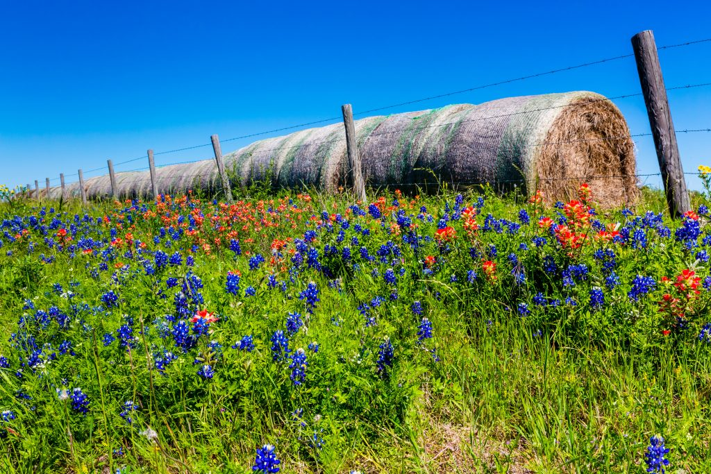 texas wildflowers blooming against a country fence with hay bales in the background