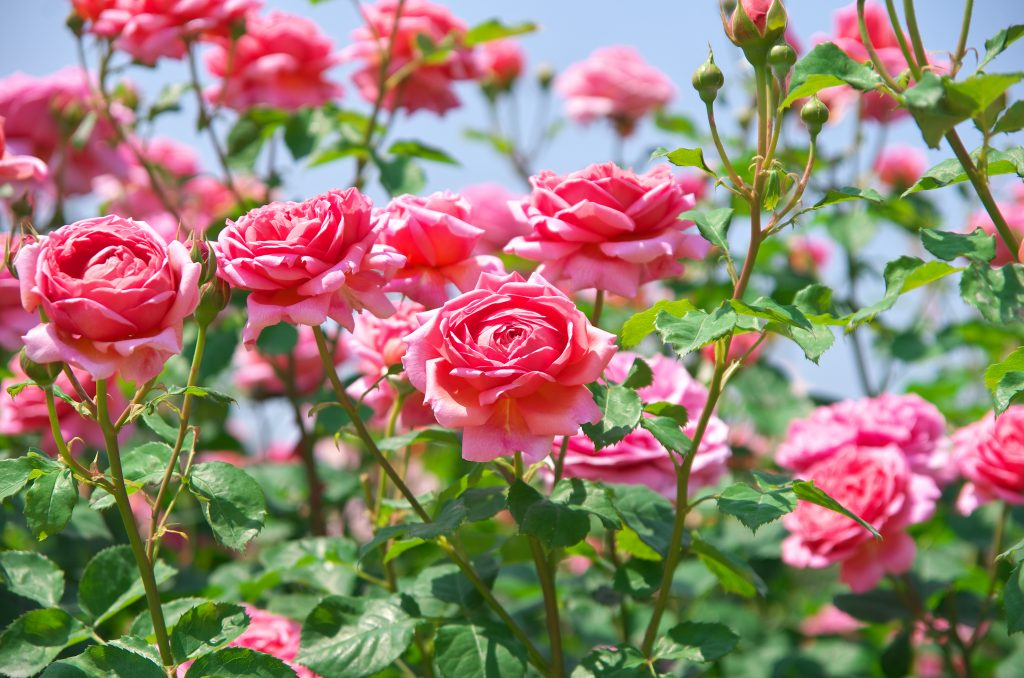 collection of pink roses in a garden. the annual rose festival is one of the best things to do in tyler tx