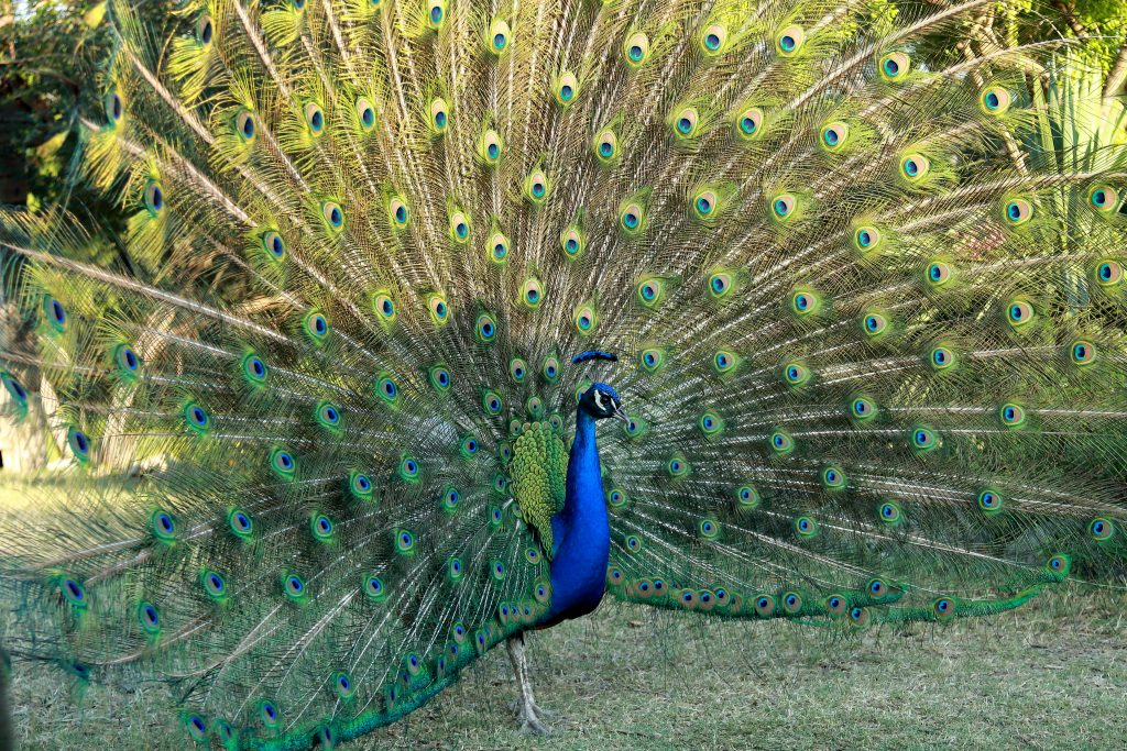 free roaming peacock with its feathers out at mayfield park austin texas
