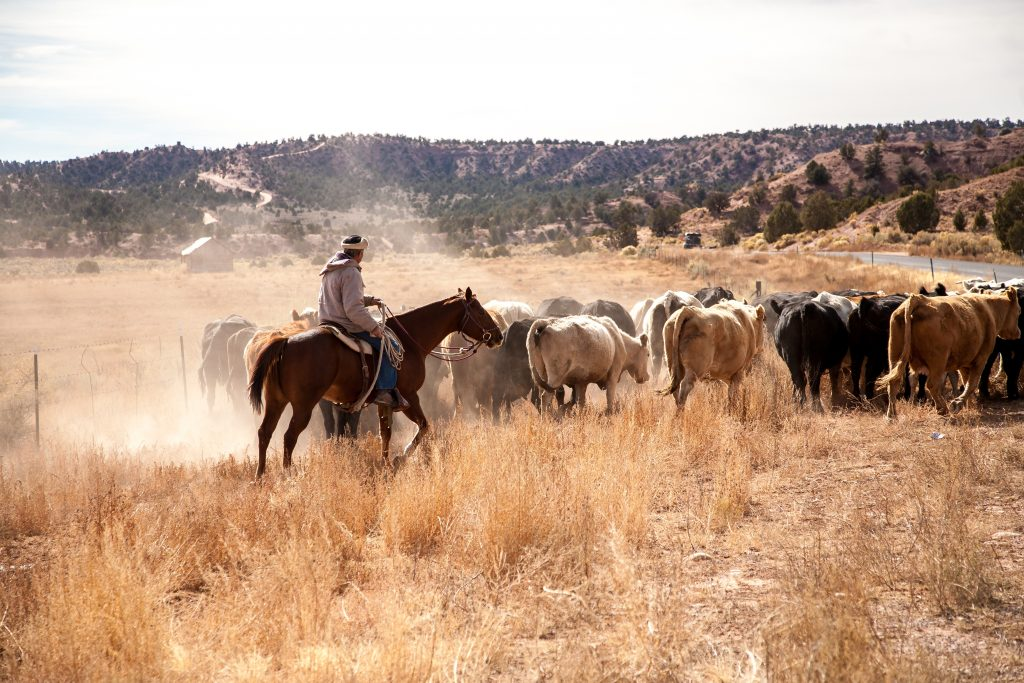 man on horseback driving a herd of cattle in west texas, a common sight in western texas movies