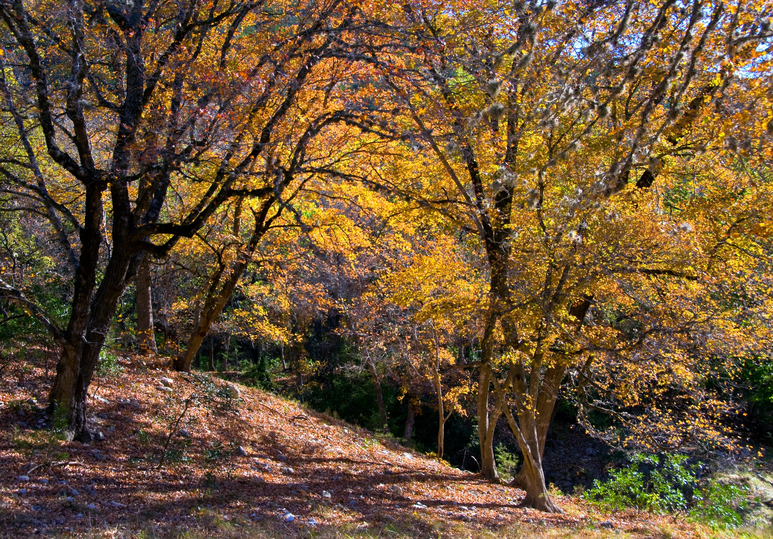 bright orange trees in fall as seen on a hike lost maples state natural area texas