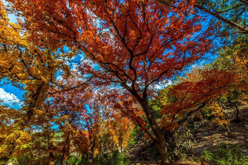 bright red fall foliage texas
