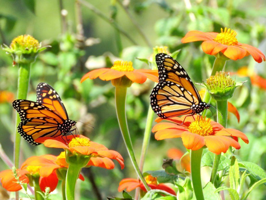 monarch butterflies resting on orange flowers