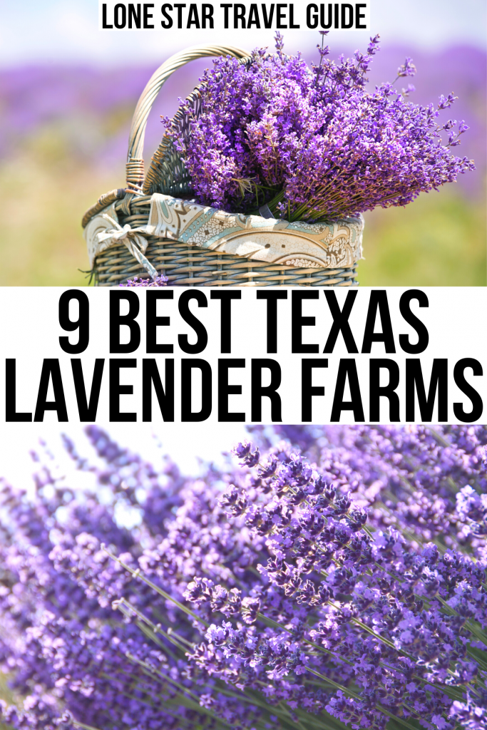 "2 photos of lavender, one of a basket of cuttings and one of a blooming plant, black texas on a white background reads ""9 best texas lavender farms"""