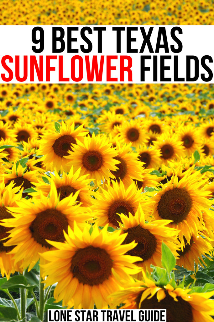 "photo of a sunflower farm in tx, black and red text on a white background reads ""9 best texas sunflower fields"""