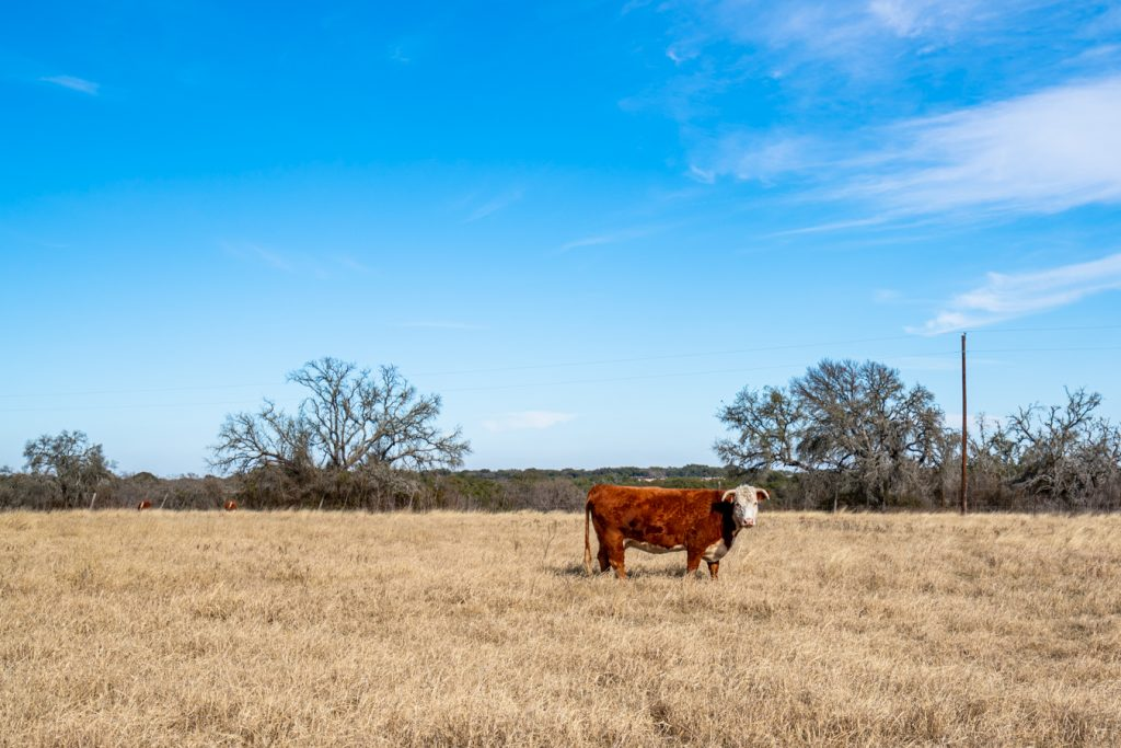 cow in lbj national historic ranch