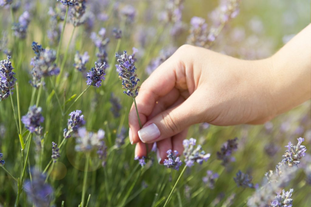 woman's hand picking a piece of blooming lavender in one of the beautiful lavender fields in texas